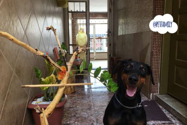 Doberman inteligente